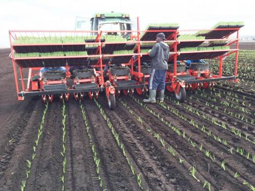 Dual 12 Gold planting onions