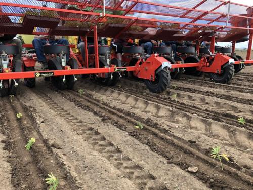 Transplanting Hemp with C&M Trium Model Transplanter