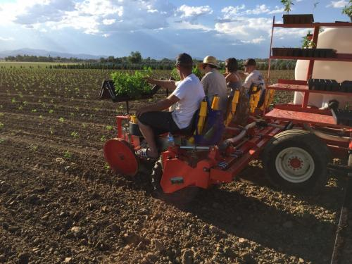 HEMP transplanting on Fitz farm with the C&M (Checchi & Magli) transplanter, Trium Model