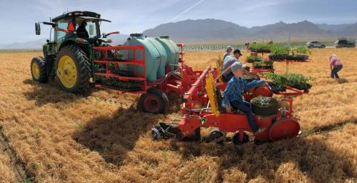HEMP transplanting, No-till with the C&M transplanter