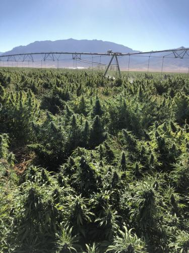 HEMP crop on Jenkins Farm in Nevada, transplanted with the C&M (Checchi & Magli) transplanter