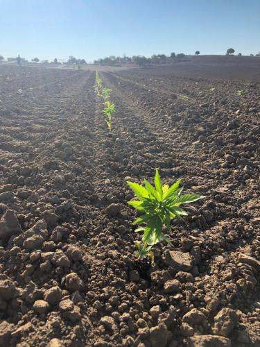 Hemp up close after transplanting with the C&M (Checchi & Magli) Trium transplanter