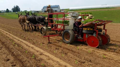 Trium, Amish planting tobacco