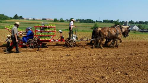 """Trium, Amish planting tobacco-- """"4 horsepower"""""""