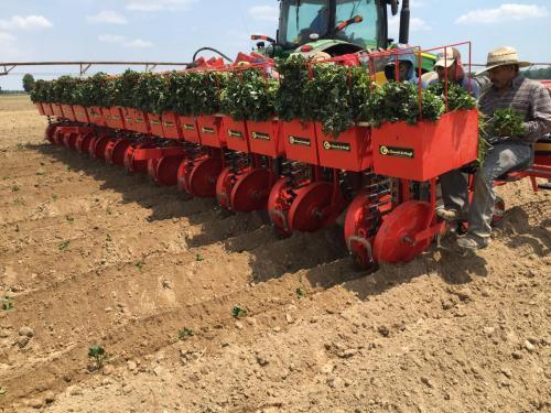 Foxdrive planting sweet potatoes -- bare root
